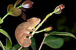 Young Parson's chameleon, Calumma parsonii, curled on branch at night, Nr Mantadia National Park, Andasibe, Madagascar, Near Threatened on the IUCN Red List and is listed on Appendix II of CITES
