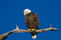 The Bald Eagle is a success story of conservation. Once nearly wiped out by pesticides like DDT, Bald Eagles have made a comeback and our national symbol is now thriving again in the United States.