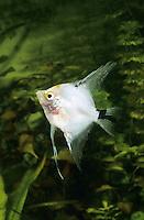 Skalar, Scalar, Segelflosser, Zuchtform, Skalare, Pterophyllum scalare, Platax scalaris, angelfish, freshwater angelfish, Le scalaire