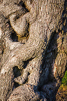 The bark swirls, dips and rises on the trunk of a tree along the path at the San Leandro Marina Park near sunset.  Stare long enough and maybe see eyes, a nose, and then a thin, downturned mouth.