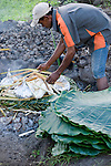 Paradise Taveuni Resort, Taveuni, Fiji; workers place the food, tightly wrapped in palm fronds, over the hot rocks for cooking in the Fiji Night Lovo