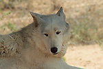 A Grey Wolf.