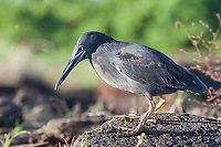 Lava Heron, James Bay, Stantiago Island, Galapagos Islands, Ecuador.