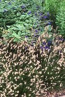 Pennisetum alopecuroides 'Little Bunny' grass