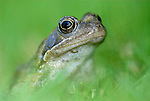 Common Frog, Rana temporaria, portrait, sitting in grass at side of pond in garden.United Kingdom....