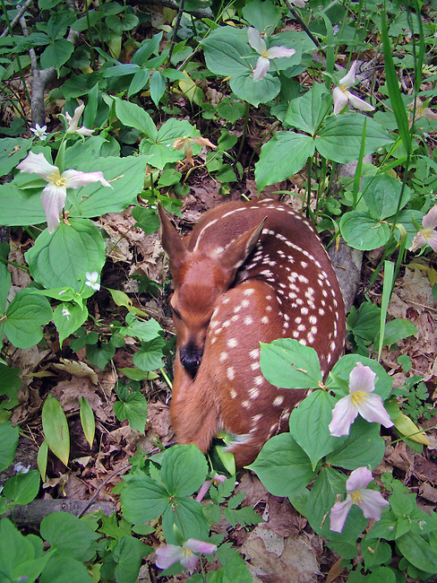 baby fawn in trillium