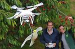 Foto: VidiPhoto<br /> <br /> COTHEN &ndash; Spreeuwen krijgen het extra lastig dit jaar. Althans bij fruitteler Theo Vernooij uit Cothen bij Utrecht. Woensdag werd voor de eerste maal een drone ingezet met daaronder een kunstvalk om de &lsquo;kersenrovers&rsquo; te verjagen en dat bleek een groot succes. Drone-hobby&iuml;st Jerphaas Rustenhoven uit Opheusden was bereid om aan het experiment mee te werken. Hij wordt vaker door telers en kwekers gevraagd om vogels te verjagen of percelen te filmen en in kaart te brengen. Vernooij wil de een drone gaan inzetten als extra hulpmiddel bij het verjagen van de spreeuwen. Op dit moment gebeurt dat nog handmatig met ratels en blikken door een aantal spreeuwenjagers. Een drone met nepvalk is zeker zo effectief en een goede variatie op de verjaagmiddelen, zodat spreeuwen spraks niet meer weten waar ze aan toe zijn. Vernooij heeft 3 ha. hoogstamkersen en 10 ha. kersen onder de kap en is daarmee een van de grootste kersentelers van ons land. Volgend jaar gaat hij kersenareaal opnieuw vergroten. Foto: Jerphaas Rustenhoven (l) legt aan zoon Eric Vernooij uit hoe de drone werkt.