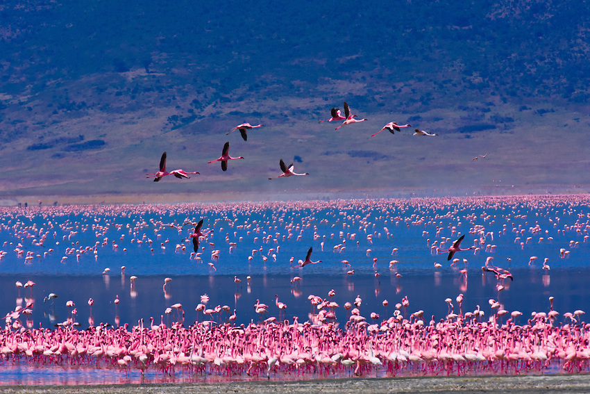 Flamingos on Lake Magadi, Ngorongoro Crater, Ngorongoro ...