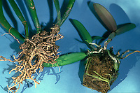 Root systems of two unpotted Cattleya orchids: Left shows dried out roots of underwatered orchid; right is a healthy root system with many live roots