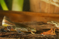 Palmate Newt (Triturus helveticus) male (left) and female (right).