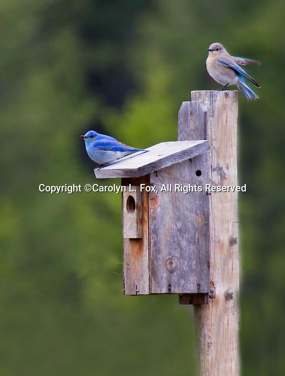 Two little bluebirds sit on a bluebird box near Yellowstone national Park.