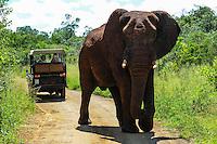 African Bush Elephant on the road. Hluhluwe-Umfolozi Game Reserve, South Africa.
