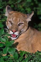 656329060 portrait of a wildlife rescue mountain lion felis concolor in heavy foliage studying its habitat species is native to the new world and is widespread