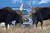 Wildlife-Yellowstone