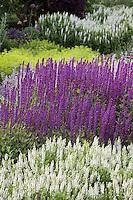 Salvia nemorosa 'Caradonna' purple perennial sage flower in border with white Salvia 'Snow Hill' ('Schneehugel'), Filoli garden