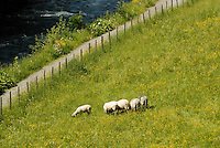 A small flock of sheep grazes in a meadow beside a gently flowing river