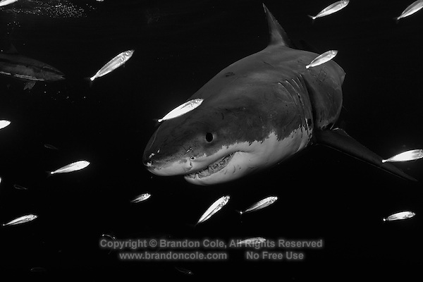 TE2230-Dbw. Great White Shark (Carcharodon carcharias), unquestionably dangerous, but not a bloodthirsty mindless killer. Worldwide temperate and subtropic waters. Capable of dives to at least 4000 feet, and epic migrations covering thousands of miles. Guadalupe Island, Baja, Mexico, Pacific Ocean.<br /> Color photo converted to black and white.<br /> Photo Copyright &copy; Brandon Cole. All rights reserved worldwide.  www.brandoncole.com