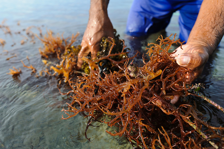 Bapak I Nyoman Yasa working on his seaweed farm, Kutuh, Bali, Indonesia. He is removing other species of seaweed that have no economic value.