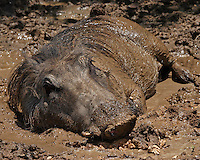 This hog is using the mud to stay cool on a hot summer day.