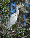 A cattle egret (Bubulcus ibis) pauses near its nest in the trees in Denver City Park, Colorado