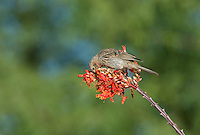 528800251 a wild ffemale house finch podocarpus mexicanus feeds on a flowering ocotillo foqueria splendens plant in southern arizona