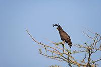 Long-crested Eagle Lophaetus occipitalis, Queen Elizabeth National Park, Uganda, East Africa