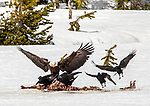 A bald eagle and ravens feed on a carcass in Yellowstone.