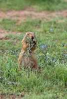 673010031 a wild black-tailed prairie dog cynomis ludovicianus in a small prairie dog town on empire ceienega natural conservation area pima county arizona