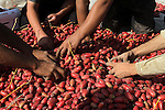 Palestinian workers sort dates harvested from palm trees during the annual harvest in Khan Younis in the southern Gaza Strip, on September 30, 2015. Photo by Abed Rahim Khatib