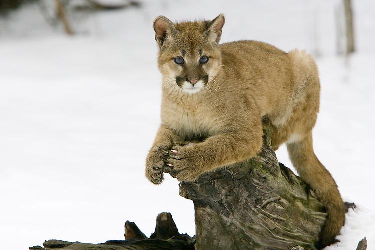 Puma kitten lying on top of an old log - CA
