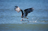 Osprey, Pandion haliaetus,adult in flight with fish, Sanibel Island, Florida, USA