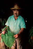 Cuba, 1992: A grower in the Vinales region presents a large leaf of Tobacco which could eventually be used for wrapping a large cigar.