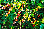 Red and green coffee cherries, Kona District, The Big Island, Hawaii USA
