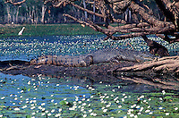 Large Saltwater Crocodile atYellow Waters Kakadu National Park, Northern Territory, Australia