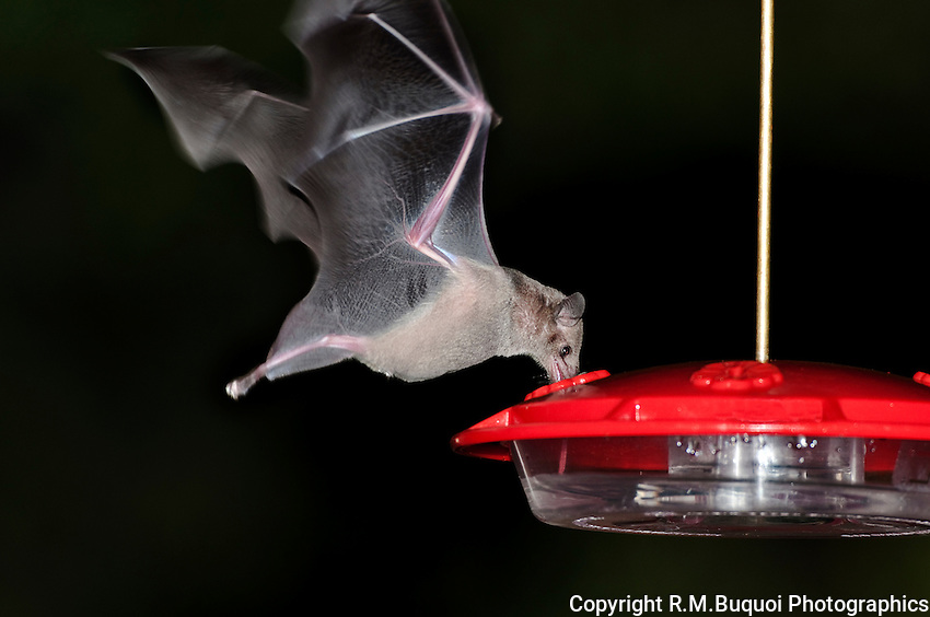 Lesser Long-nosed Bat sipping nectar from a Hummingbird feeder