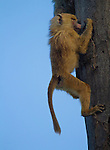 Baby Olive Baboon (Papio anubis)climbing a tree