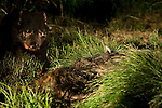 Wild Tasmanian Devil photographed using handheld remote control trigger at Kingsrun, Geoff King's &quot;devil restaurant&quot; on his land near Arthur River, north west Tasmania. The devils are lured using a staked-out roadkill wallaby, under spotlights beside an old fishing hut on the beach. Tasmania's northwest is the only area not yet affected by Devil Facial Tumour Disease, which has caused a population crash elsewhere on the island.  ..The disease is a contagious cancer that scientists are only beginning to understand, but has spread rapidly through the population, leaving the devil listed as endangered. In December 2009, it was announced that the disease may be related a peripheral nerve cell, called the Schwann cell, which has led some hopes for preserving the devil, at least in terms of quarantine insurance populations.