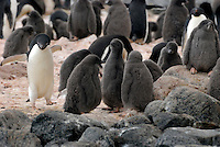 In conference.  No calls please - Adelie chick penguins