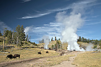 Bison Herd, Yellowstone Thermal Features, Yellowstone National Park