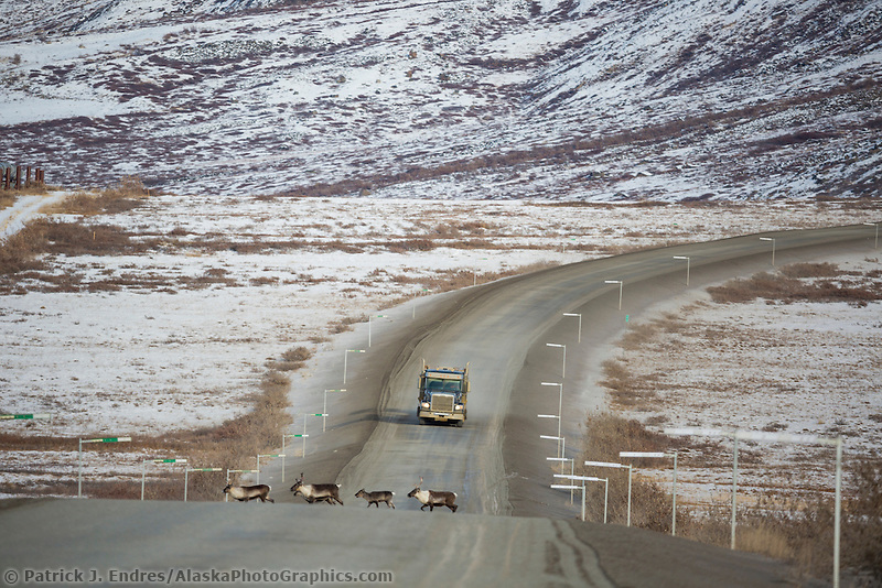 Caribou cross the James Dalton Highway in front of a trucker, Arctic, Alaska.