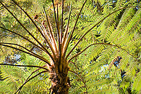 Looking up at Australian tree fern (Cyathea cooperi aka Sphaeropteris cooperi) through leaves backlit with sunlight