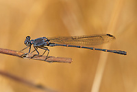 338570018 a wild male  sooty dancer damselfly argia lugens perches on a dead stick along piru creek at frenchman's flat los angeles county california