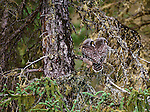 A pair of diurinal Northern Hawk Owls perch in the shape of a camouflaged heart on a tree branch in Northwest Territories, Canada.
