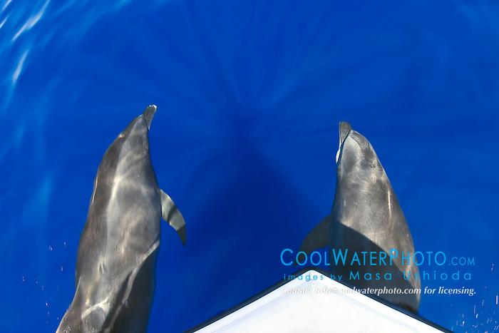 wild bottlenose dolphins, bow-riding, Tursiops truncatus, Big Island, Hawaii, Pacific Ocean