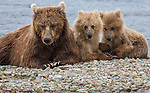Brown bear sow and cubs, Katmai National Park, Alaska, USA