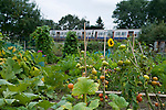 A metropolitan tube train passes in the distance with tomatoes growing in allotment in Harrow, NW London.