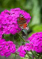 A European peacock butterfly (Aglais io) on a bright pink phlox flower