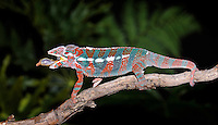 Panther Chameleon (Furcifer pardalis) with caught prey, native to Madagascar, captive.
