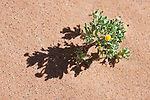 Desert plant in sand with tiny yellow flower.
