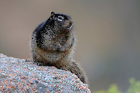 Rock Squirrel on granite uplift